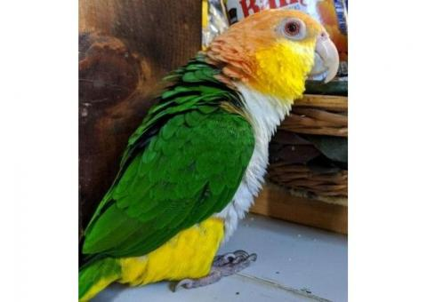 White-bellied Caique with cage for sale.